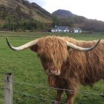 Highland Cow with cottage behind
